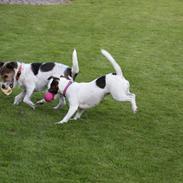 Jack russell terrier Maude