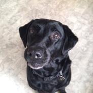 Labrador retriever Mille