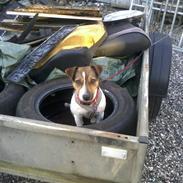 Jack russell terrier Bellis