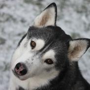 Siberian husky Snow Husky Ziemabor Jamie [Himmelhund]