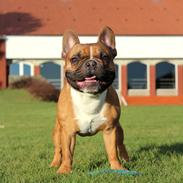 Fransk bulldog Arnold