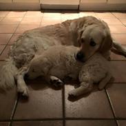 Golden retriever Sammy