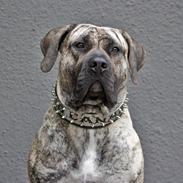 Dogo canario DKCH Aforija Fuerza Bull