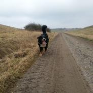Berner sennenhund Bernermagic's Bumle