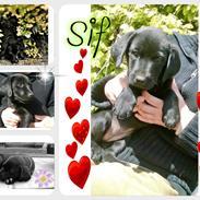 Labrador retriever Sif