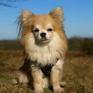 Chihuahua Caspar aka Rangeren