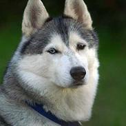 Siberian husky Jazzy