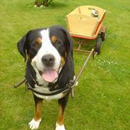 Grosser schweizer sennenhund Anton (Samson)  R.I.P.