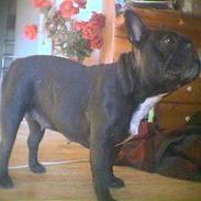 Fransk bulldog Freja