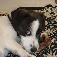 """Jack russell terrier Oma Olsen """"Bessie"""""""