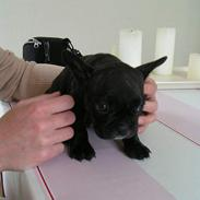 Fransk bulldog Isabel