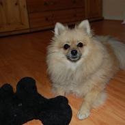 Pomeranian Himmelhund EMMA