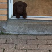 Labrador retriever Coco