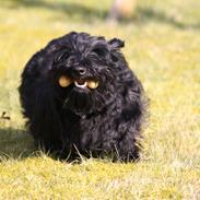 Skotsk terrier Bagia