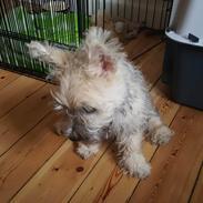 Cairn terrier Albus