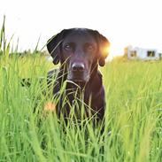 Labrador retriever Junior