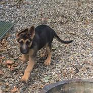 Schæferhund Milo aka kummefryseren