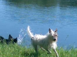 Jack russell terrier Mini-Fie