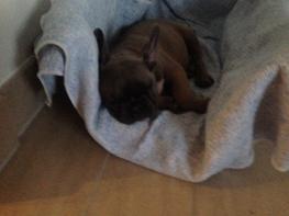 Fransk bulldog Vitus