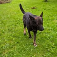 Schæferhund Silas