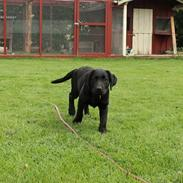 Labrador retriever Enya