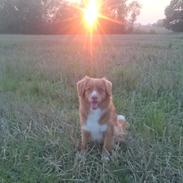 Nova scotia duck tolling retriever Redborn first Contact (Dixie)
