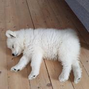 """Samojedhund White Canis Mariah Carey """"Emie"""""""
