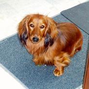 Dværggravhund Quinzy