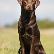 Labrador retriever Fella AKA Floppen