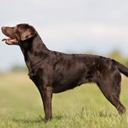 Labrador retriever Fella (NW1 NW1G)