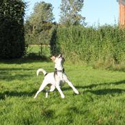 Dansk svensk gaardhund Lea