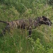 Dogo canario Pumba aka Baco Fuerza Bull