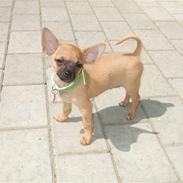 Chihuahua Rødebro's Zambo