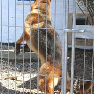 Schæferhund Milo-1
