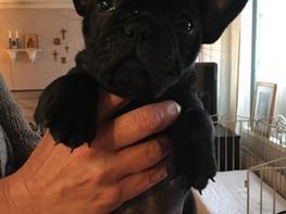 Fransk bulldog *Ingolf*