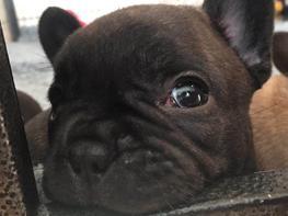 "Fransk bulldog Molosshuset Helium - ""Pippa"""