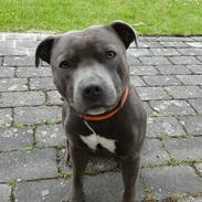 Staffordshire bull terrier Max