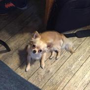 Chihuahua Iza