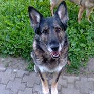 Schæferhund Ulveskovens Ofelia. (Laika).