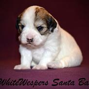 Løwchen WhiteWespers Santa Baby *Rita*