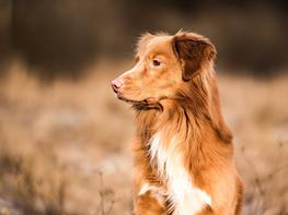 Nova scotia duck tolling retriever Findus