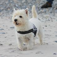 West highland white terrier Freja