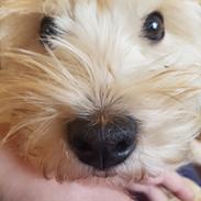West highland white terrier Freja