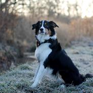 Border collie Onlystar's I Love You Rebel [Bella]