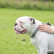 Olde english bulldogge Angeleyes Bounty