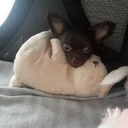 Chihuahua Chico La Messi