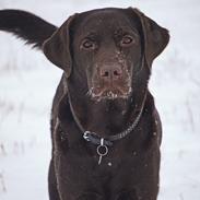 Labrador retriever Dumle