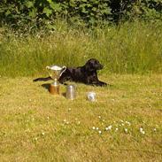Labrador retriever Høstemark Pixie (Trine)