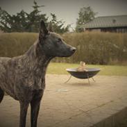 Hollandsk hyrdehund Resy