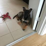 Schæferhund Weedfald Enya